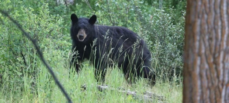 black bear1